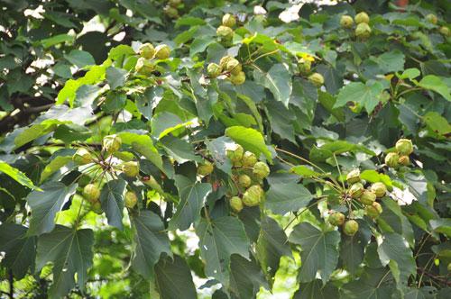 供应粤桂千年桐种子种苗培育场 桐油种子油桐种子产区