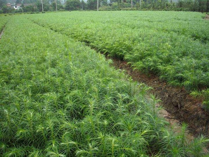 供应玉林马尾松苗和湿地松苗简介 松木苗价格