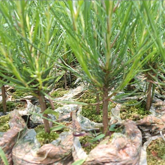 供应松木苗基地 广西加勒比松苗和高脂松苗种子简介