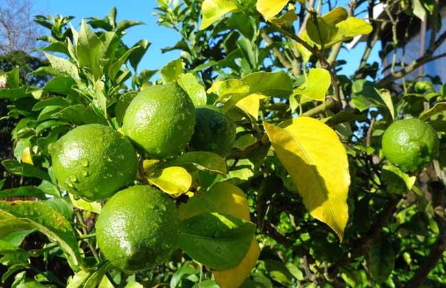 供应柠檬苗和香水柠檬苗圃 玉林四季柠檬苗销售部